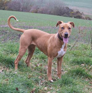 Rhodesian Ridgeback Cross Dogs For Adoption And Rescue | Dog Breeds ...