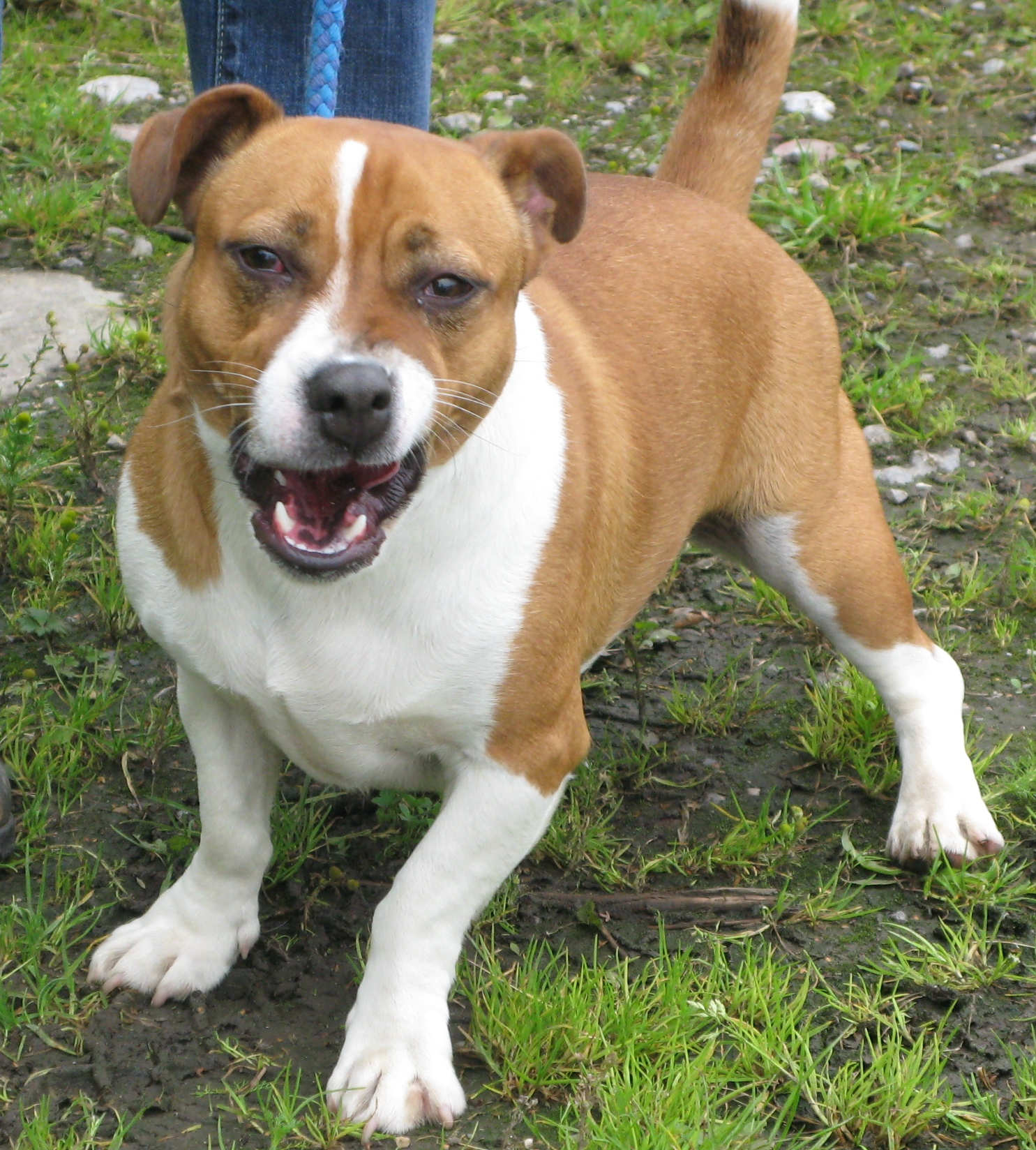 Milo 2 Year Old Male Jack Russell Terrier Cross Staffordshire Bull