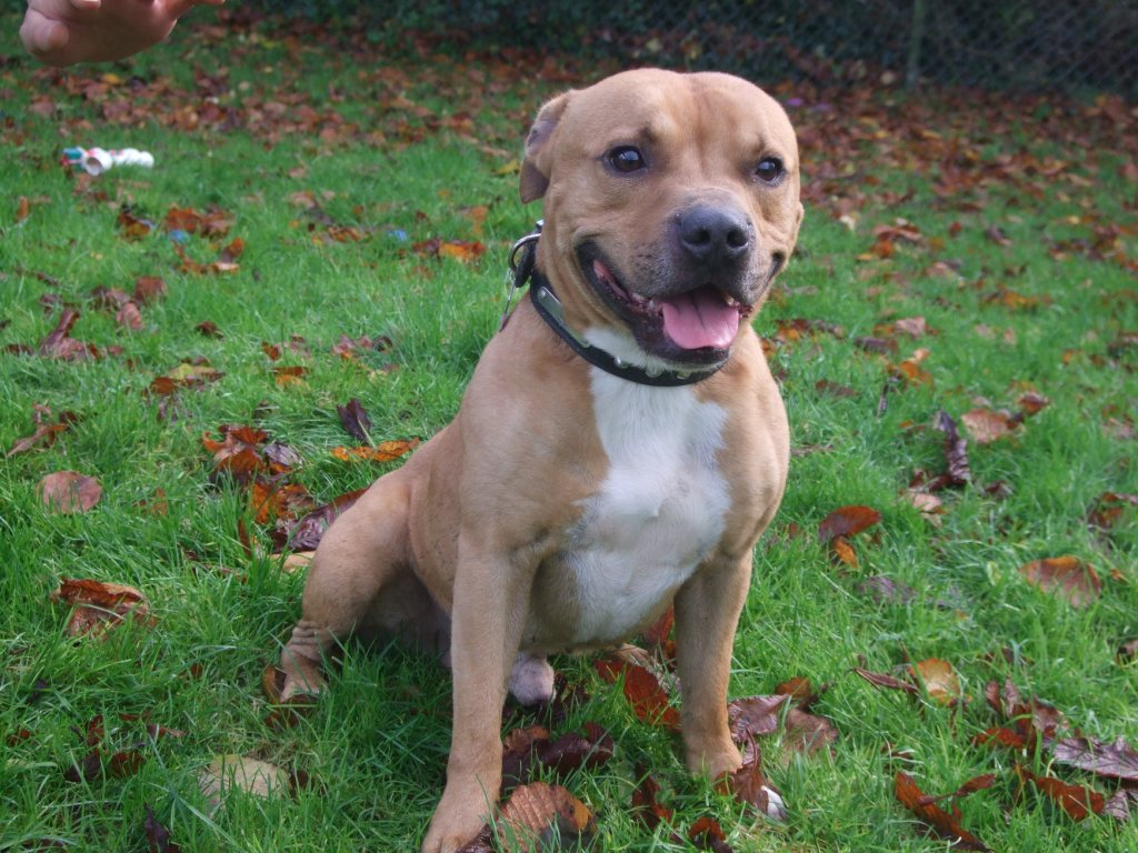Viking – 4 year old male Staffordshire Bull Terrier dog for adoption