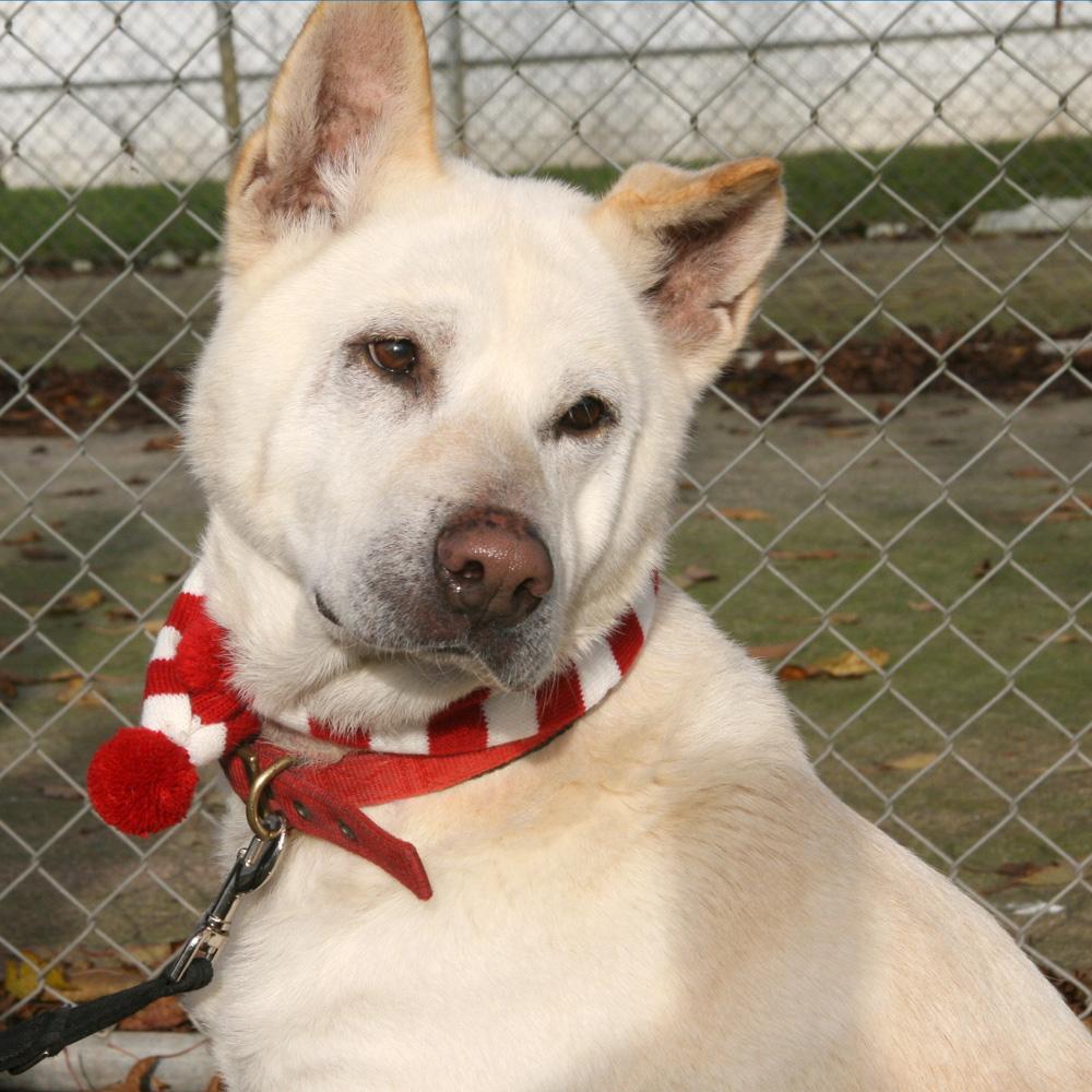 Akita husky mix akita cross dogs for adoption