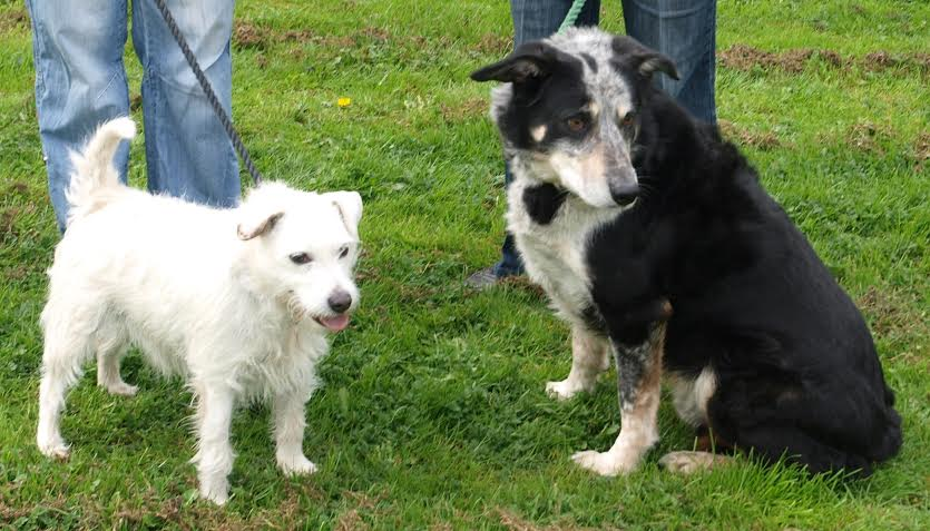 Shep and Milo – 6-10 year old male Collie and Terrier Cross