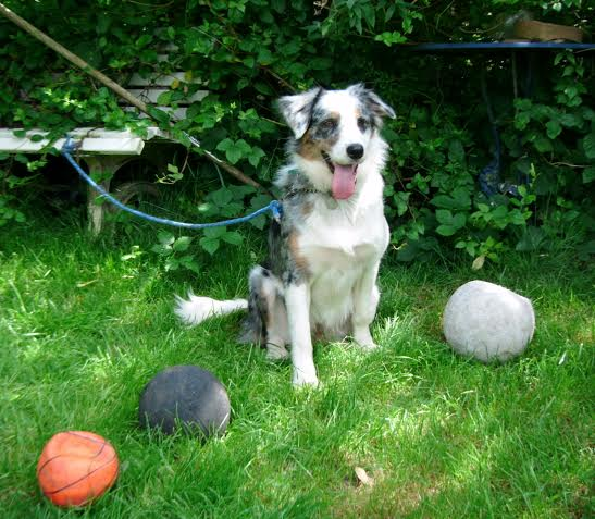 Jess 20 Month Old Female Border Collie