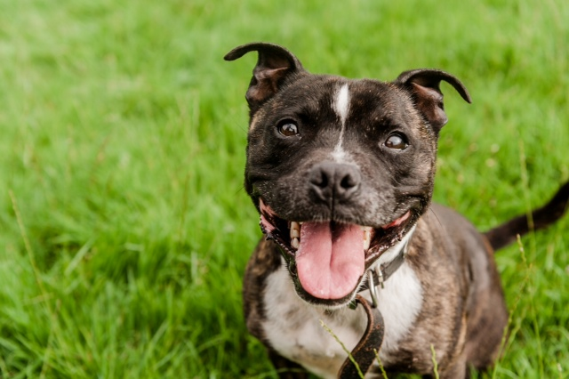 Roco – 4 year old male Staffordshire Bull Terrier