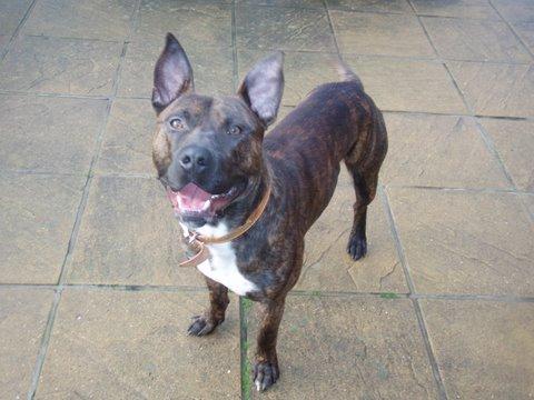 Basil 14 Month Old Male German Shepherd Dog Cross Staffordshire Bull Terrier Dog For Adoption