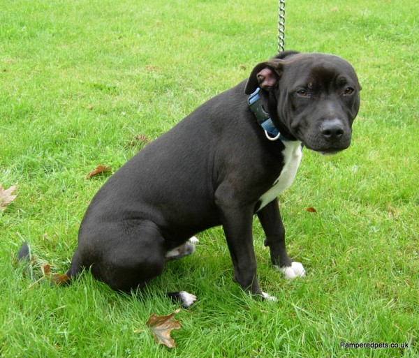 Staffordshire Bull Terrier 5 Months Ollie – 5 month old ...