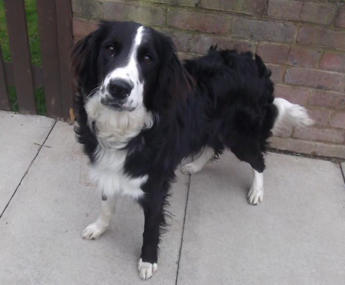 Harley 10 Month Old Male English Springer Spaniel Cross