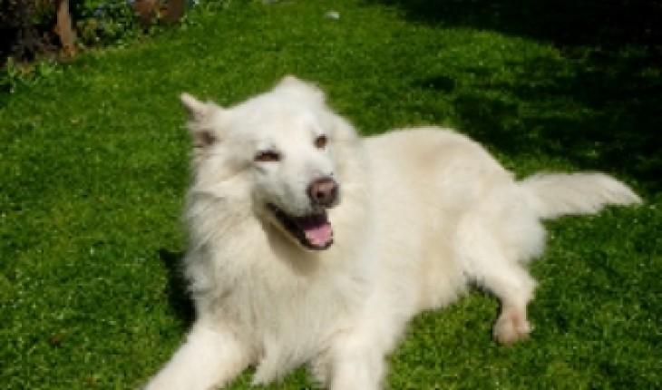 Samoyed Mixed With German Shepherd Jago – 13 yea...