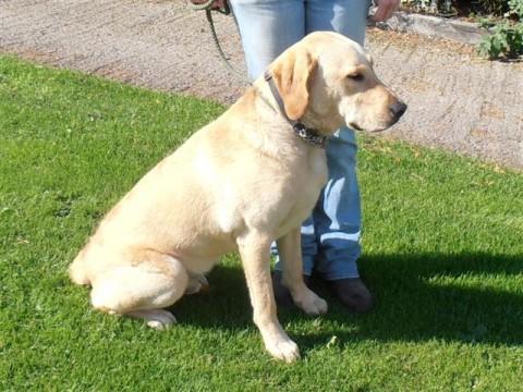Bailey – 1 year old male Labrador Retriever dog for adoption
