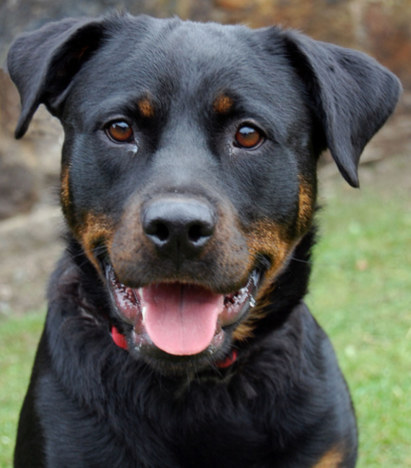Posts by Fife Rottweiler Rescue | Dogs for Adoption & Rescue