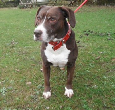 Buster 10 Year Old Male Staffordshire Bull Terrier Cross English Cocker Spaniel Dog For Adoption