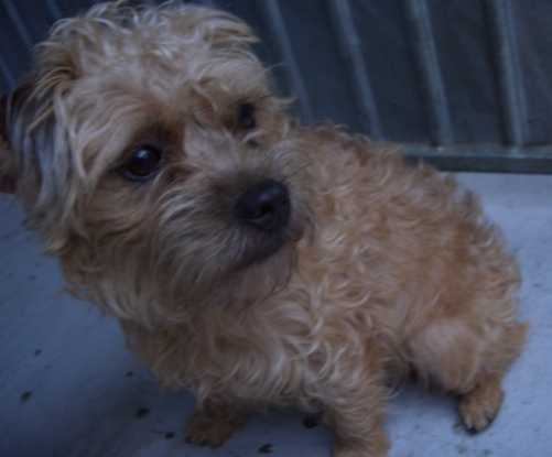 Betsy 1 2 Year Old Female Border Terrier Cross Dog For