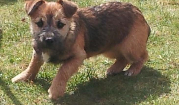 Bella 5 Month Old Female Border Terrier Cross Yorkshire Terrier
