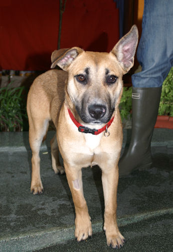 Sydney 6 Month Old Male German Shepherd Dog Cross English Bull Terrier Dog For Adoption