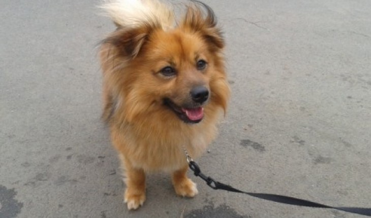 Fox Terrier Pomeranian Mix Goldenacresdogscom
