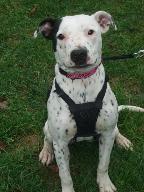 Iris 1 Year Old Female Dalmatian Cross Dog For Adoption
