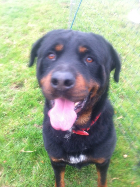 Rottweiler dogs for adoption and rescue page 5 dog breeds picture