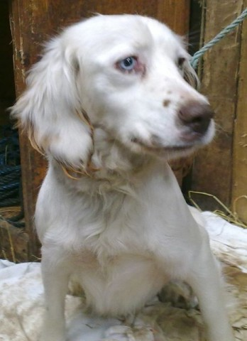 Sammi 1 Year Old Female Springer Spaniel Dog For Adoption