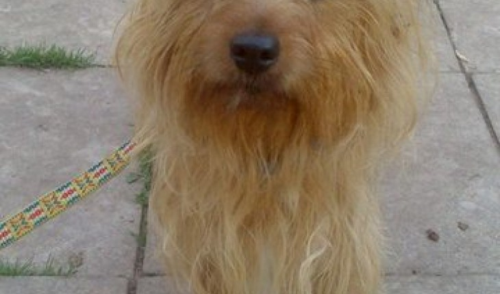 Archie 2 Year Old Male Yorkshire Terrier Cross Jack Russell