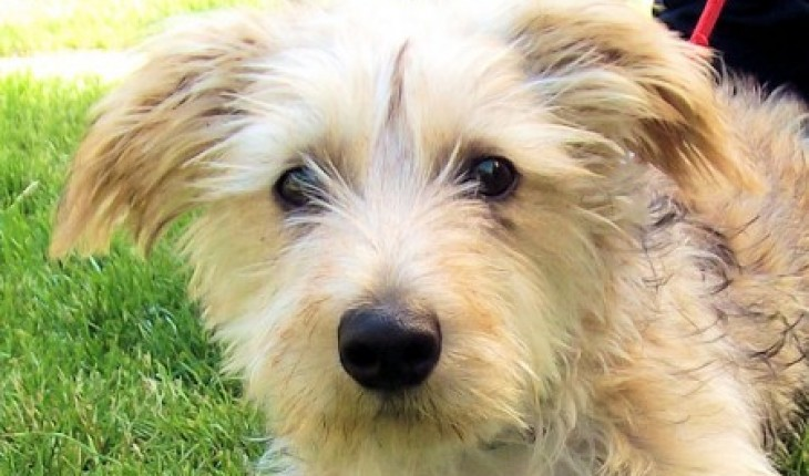 Junior 5 Month Old Male Yorkshire Terrier Cross Dog For Adoption