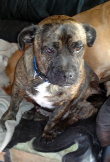 Oscar 21 Month Old Male Pug Cross Staffordshire Bull