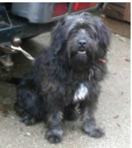 Year Old Male Bearded Collie Cross