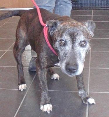 Smiler  Year Old Male Staffordshire Bull Terrier Dog