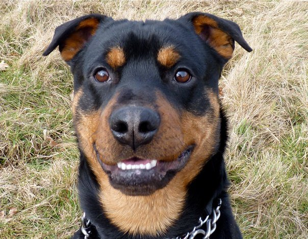 jude � 18 month old male rottweiler cross staffordshire