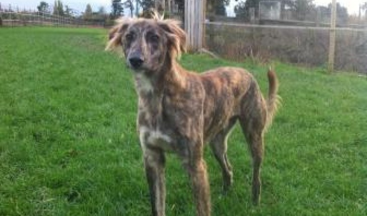 Sonny – 12 month old male Saluki cross Greyhound dog for ...