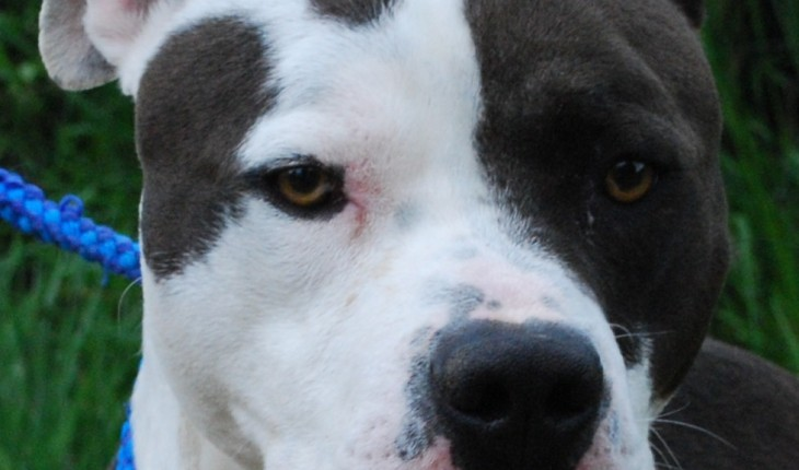 Buddy – 18 months old male American Bull Dog dog for adoption