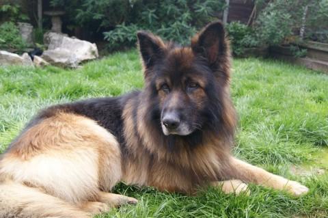 Gideon 5 Year Old Male German Shepherd Dog Dog For Adoption