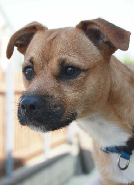 Eric 1 Year Old Male Border Terrier Cross Dog For Adoption
