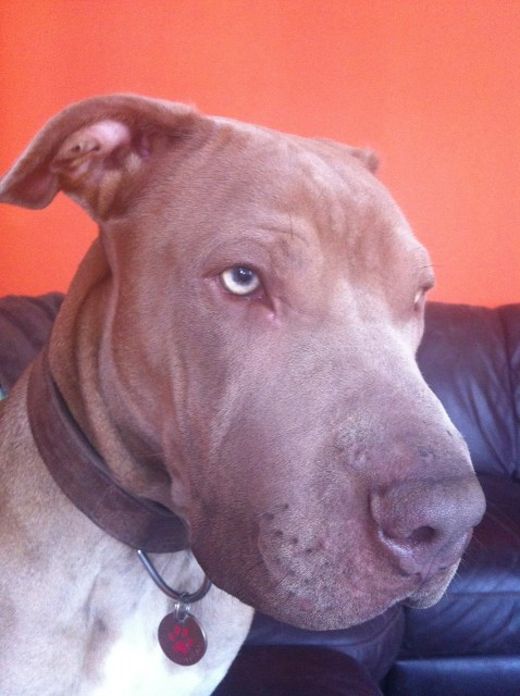 Search Results for Weimaraner | Dogs for Adoption & Rescue