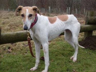Bambi 3 Year Old Female Greyhound Cross Whippet Dog For