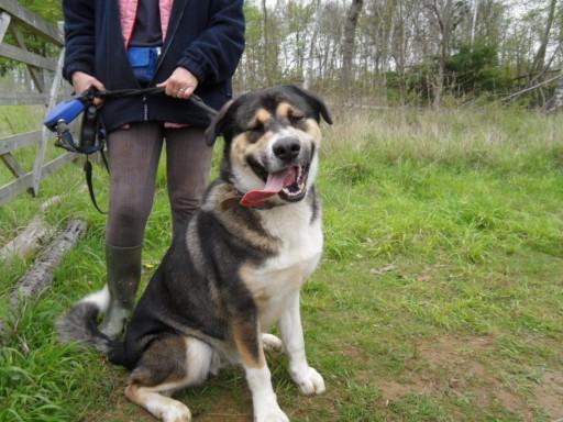 Bruno 15 Month Old Male Husky Cross German Shepherd Dog