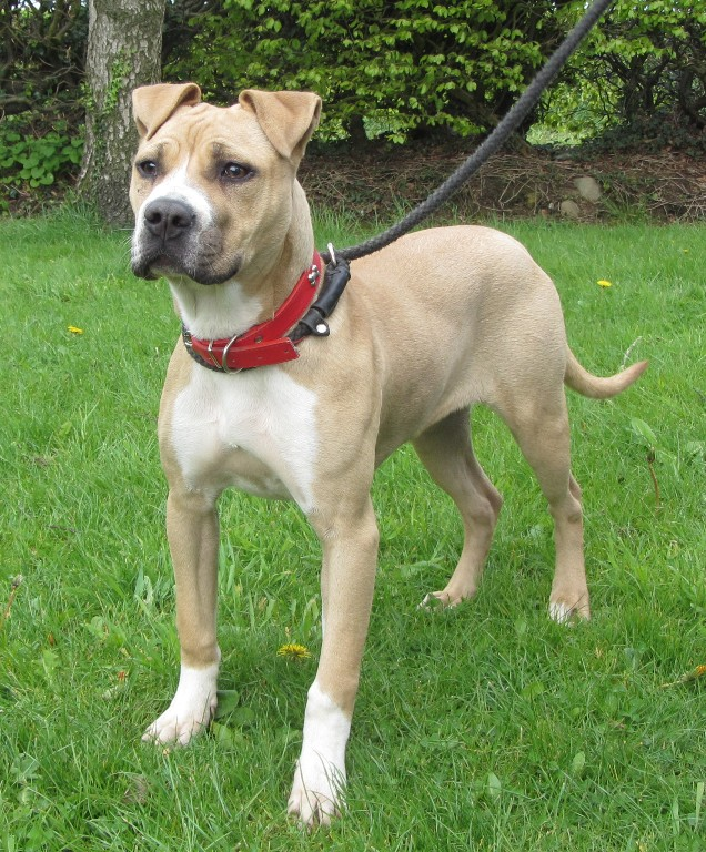 cindy � 78 month old female american bulldog dog for adoption