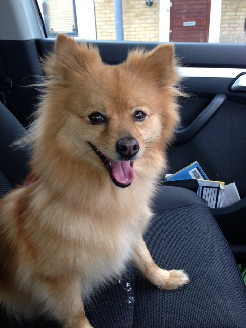 Ruby 3 Year Old Female Pomeranian Cross Dog For Adoption