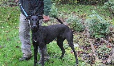 Lurcher Cross Dogs for...