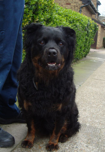 Buster 6 Year Old Male Rottweiler Dog For Adoption