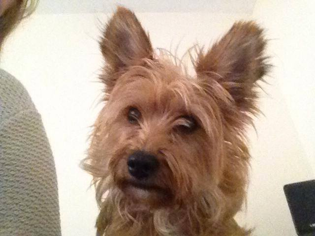 West Highland Yorkshire Terrier Cross Lilly – 4 year old f...