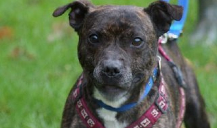 adopter staffordshire bull terrier
