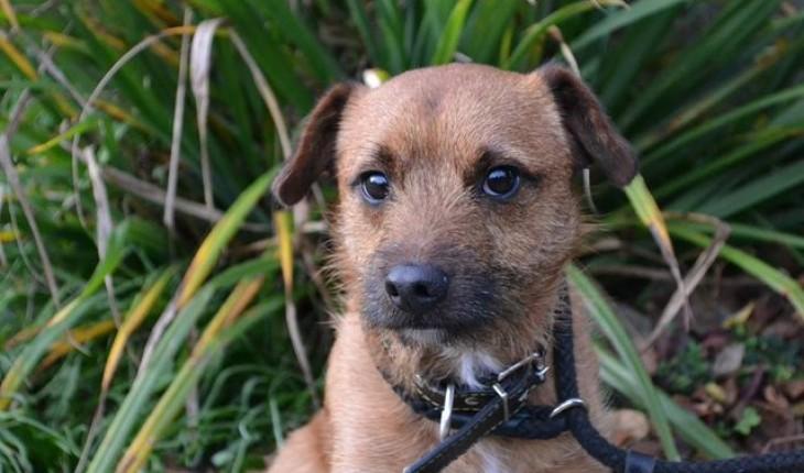 Monty 2 Year Old Male Border Terrier Cross Jack Russell Terrier