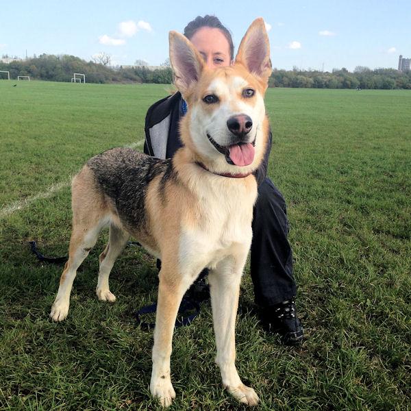 Dog Ready For Adoption Labrador Retriever Golden Retriever Mixed ...