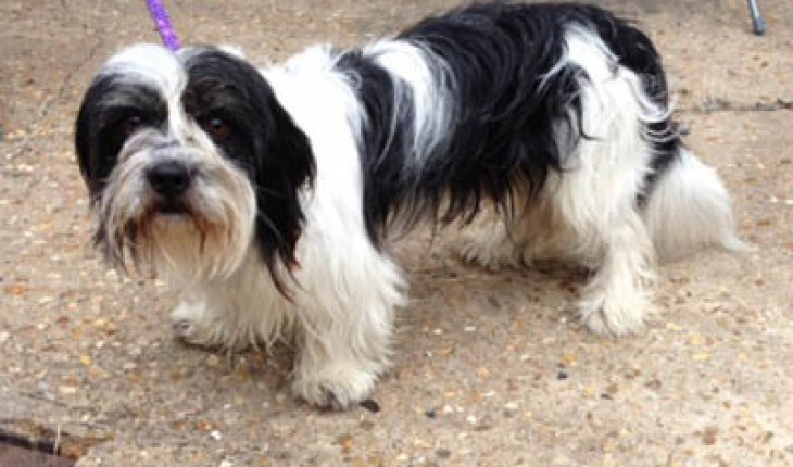 Lhasa Apso 2 Years Old Harry – 1-1 1...