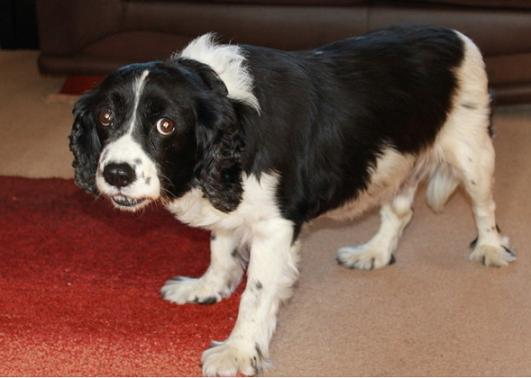 King charles spaniel cross english springer spaniel dog for adoption