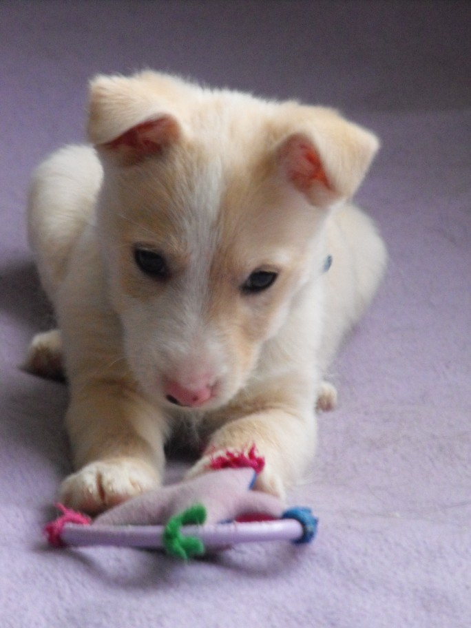 Douglas 10 Week Old Male West Highland White Terrier Cross Whippet