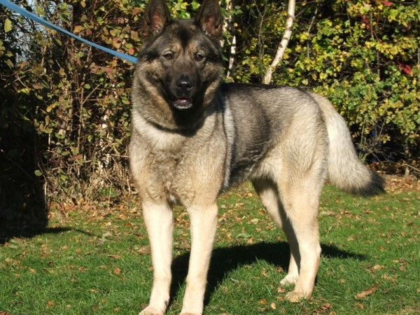 Holly  Year Old Female Akita Cross Dog For Adoption