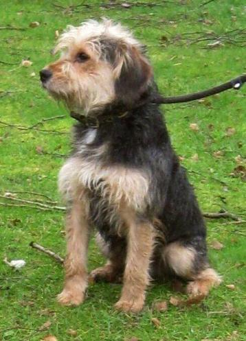 Moss 10 Month Old Male Yorkshire Terrier Cross Dog For