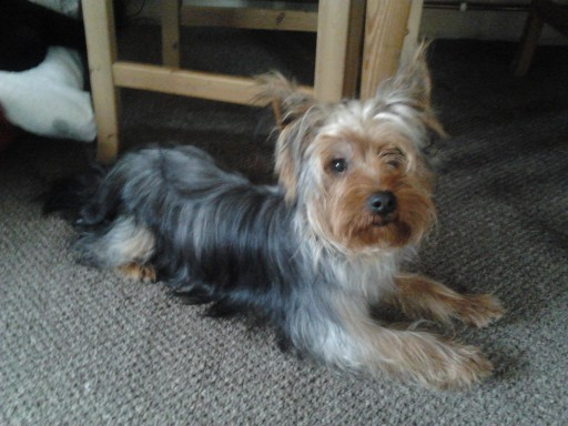 Barney 6 Month Old Male Yorkshire Terrier Dog For Adoption