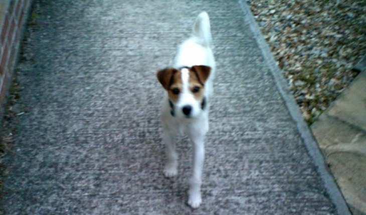 Jiggles – 9 month old male Patterdale Terrier cross Parson Jack ...