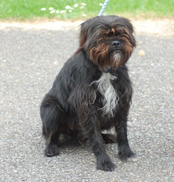 Fraggle – 2 year old male Shih Tzu cross Terrier dog for adoption